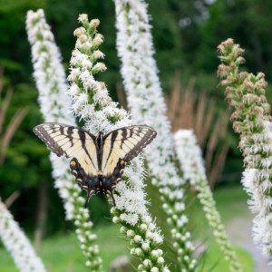 Pollinator Friendly Plants @ Pittsburgh Botanic Garden