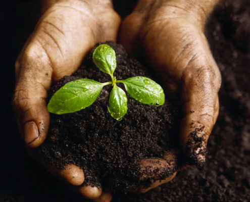 hands in soil with plant