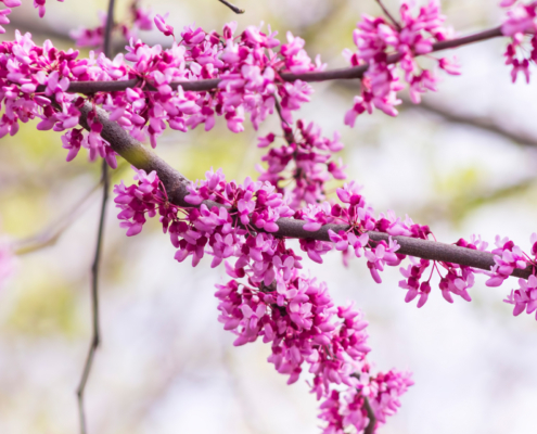 close up of an Eastern redbud tree blooming in the spring time